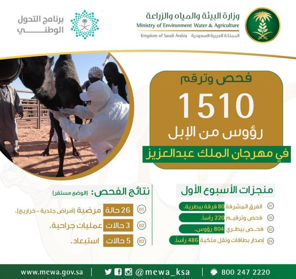 """""""البيئة"""" تفحص وترقم 1500 رأس من الإبل خلال الأسبوع الأول في مهرجان الملك عبدالعزيز"""